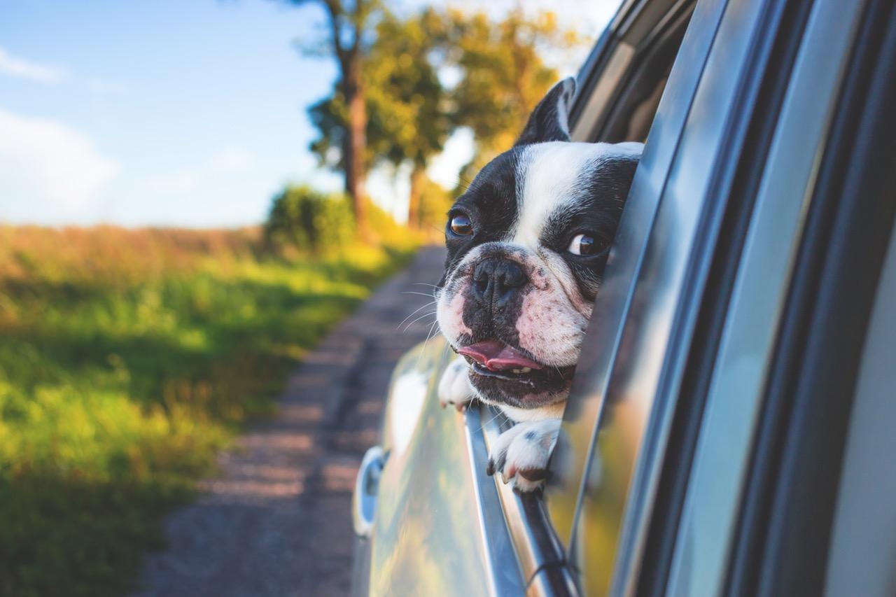 dog riding in a car
